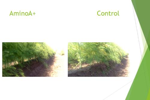 AminoA Biostimulants Asparagus Trial