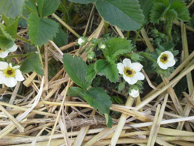 Untreated Strawberries