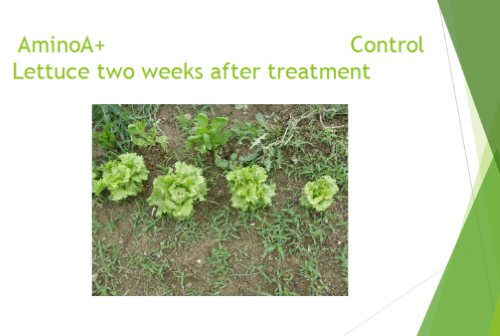 Lettuce Trial After 14 Days After Treatment