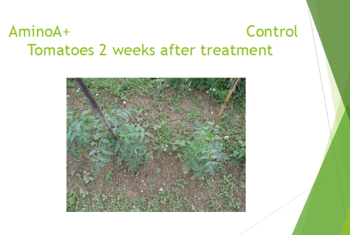 Control tomatoes 14 days after treatment